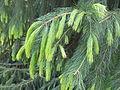 Novo crescimento do Himalayan ou Morinda Spruce Picea smithiana.JPG