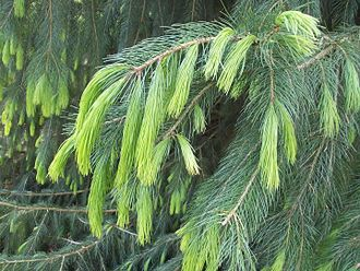 Picea smithiana - New growth, showing the exceptionally long needles of this species