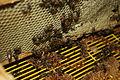 Newlands bees 053.JPG