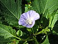 Nicandra physalodes1MSHADES.jpg