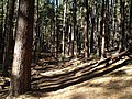 Nice, shady stand of Ponderosa Pines - panoramio.jpg