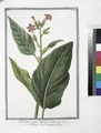Nicotiana major latifolia - Tabacco - Nicotiane ou Tabac. (Tobacco) (NYPL b14444147-1125017).tiff