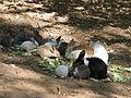 Nisargadhama Rabbits.jpg