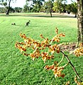 "No 5 Green Arachnis ""Spider Orchid"" Sept 2007 - panoramio.jpg"