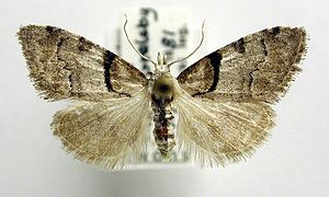 Short-cloaked moth - Image: Nola cucullatella