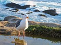NorCal2018 Western gull at Point Lobos Monterey County S0180054.jpg