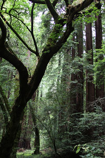 File:Northern California Muir Woods - National Monument.jpg