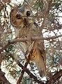 Northern Saw-whet Owl (31892656266).jpg