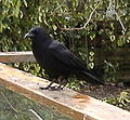 Northwestern Crow on railing.jpg