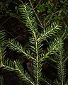 Norway Spruce (Picea abies) - Oslo, Norway 2020-08-24 (01).jpg
