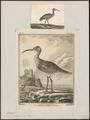 Numenius phaeopus - 1700-1880 - Print - Iconographia Zoologica - Special Collections University of Amsterdam - UBA01 IZ17400071.tif