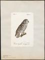 Nyctala funerea - 1842-1848 - Print - Iconographia Zoologica - Special Collections University of Amsterdam - UBA01 IZ18400209.tif