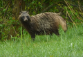 Nyctereutes procyonoides - Raccoon Dog - Jenot.png
