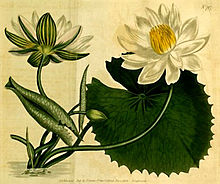 Nymphaea lotus1CURTIS.jpg