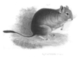 O degus by G.Waterhouse(1846).png