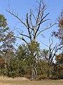 Oak PA260040.JPG