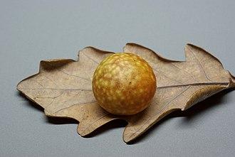 Oak apple - Image: Oak apple BW 2014 11 16 20 35 06