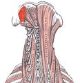 Obliquus capitis superior.png