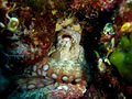 Octopus vulgaris12p.jpg