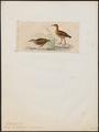 Ocydromus australis - 1820-1863 - Print - Iconographia Zoologica - Special Collections University of Amsterdam - UBA01 IZ17500123.tif
