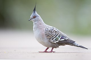 Crested pigeon Species of bird