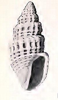 Oenopota tabulata 001.jpg