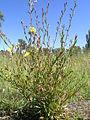 Oenothera stricta plant2 (14726574923).jpg