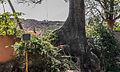 Old Tree in Fuentidueño.jpg