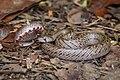 Oligodon deuvei, Deuve's kukri snake - Mueang Loei District, Loei Province (40930180123).jpg