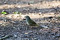Olive sparrow (46772351201).jpg