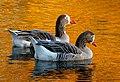On Golden ponds..Pilgrim geese. (18072502303).jpg