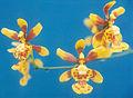 Oncidium-sphegiferum.jpg