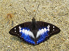 Open wing position of Mimathyma ambica Kollar, 1844 – Indian Purple Emperor.jpg