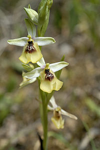 Ophrys lacaitae-2006.jpg