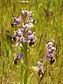 Ophrys neglecta (plants).jpg