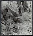 Opruimen van landmijnen bij Hoek van Holland. Duitse krijgsgevangen worden daarb, Bestanddeelnr 120-1021.jpg