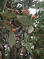 Opuntia ficus-indica IMG 5770.jpg