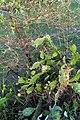 Opuntia ficus-indica flower, Saptari (3).jpg