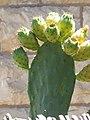 Opuntia ficus-indica fruit-Jerusalem.jpg