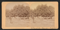 Orange Grove, Cal, from Robert N. Dennis collection of stereoscopic views.png