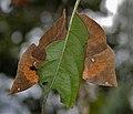 Orange Oakleaf (Kallima inachus) at Samsing, Duars, West Bengal W IMG 6233.jpg