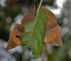 Orange Oakleaf (Kallima inachus) at Samsing, Duars, West Bengal W IMG 6233.jpg