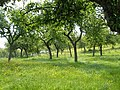 Orchard near Whimple - geograph.org.uk - 178685.jpg