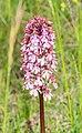 Orchis purpurea in Causse du Larzac (1).jpg