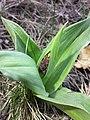 Orchis purpurea sl62.jpg