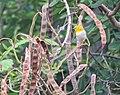Oriental White-eye-Zosterops palpebrosus-चष्मेवाला.jpg