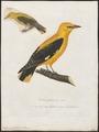 Oriolus galbula - 1800-1812 - Print - Iconographia Zoologica - Special Collections University of Amsterdam - UBA01 IZ16400161.tif