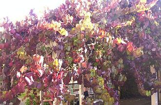 Vitis - Vitis coignetiae with autumn leaves
