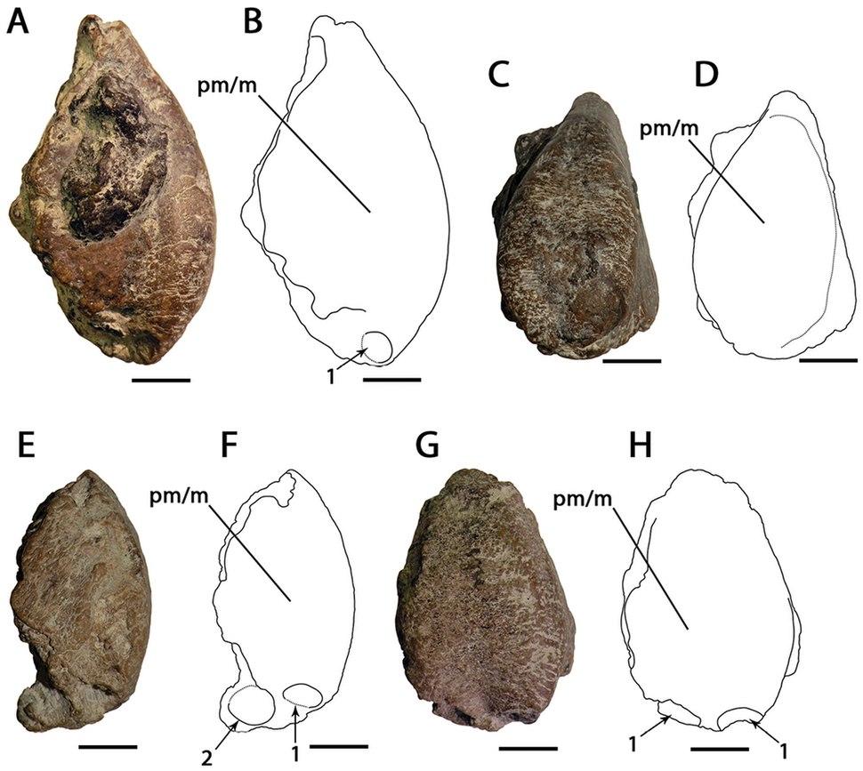 Ornithocheirus CAMSM 54429