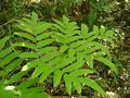Osmunda japonica leaf.jpg